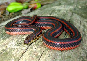 Everglades Adventure- Extinction and Conservation